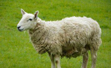 Allevare le pecore