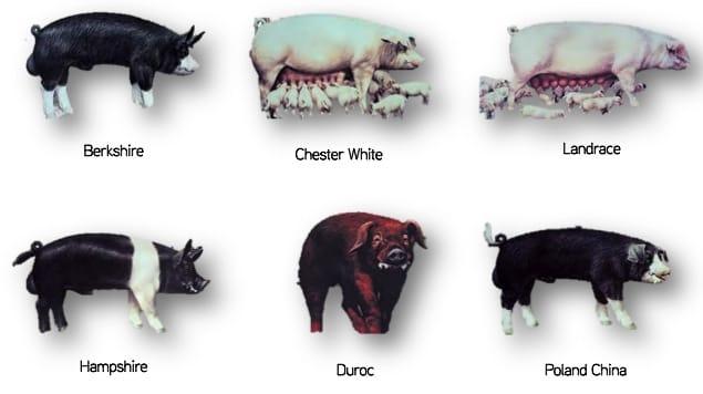 Le razze dei maiali