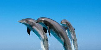 I delfini, animali intelligenti e socievoli