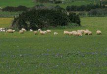 Gli agnelli nel gregge di pecore