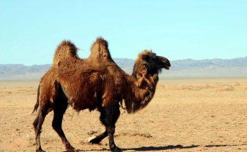 Il cammello nel deserto