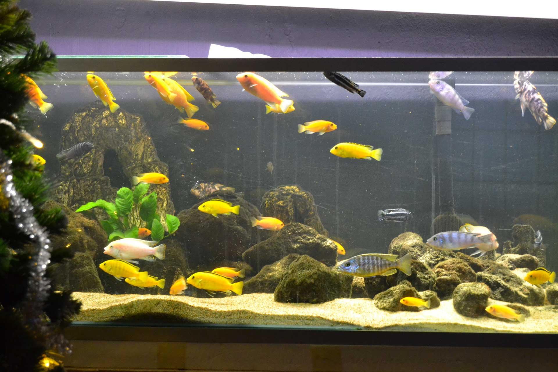 Sintomi e malattie pi comuni dei pesci da acquario - Pesci comuni in tavola ...